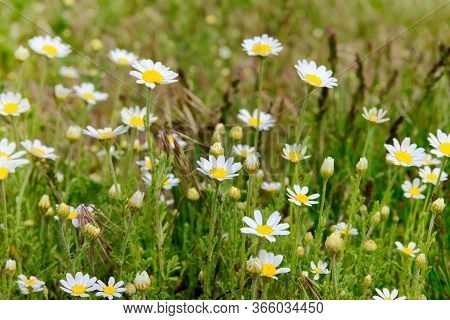 Daisies In The Summer Green Meadow. Oxeye Daisy, Leucanthemum Vulgare. Chamomile Flowers With White