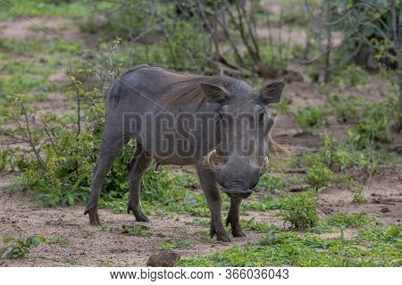 A Solitary Warthog Looking Towards The Camera. Zimbabwe, Southern Africa.