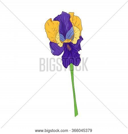 Blooming Iris. Blooming Bud On The Stem. Color Botanical Illustration. Hand Drawn And Isolated On Wh