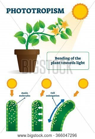 Phototropism Vector Illustration. Labeled Plants Bending Towards Sun Light Scheme. Biological Proces