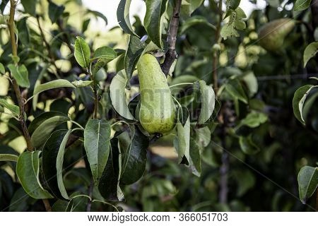 Pear On A Fruit Tree, Detail Of Fresh Fruit, Healthy Food