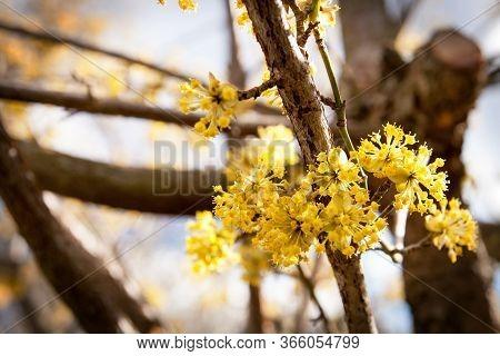 Cornus Mas , Cornelian Cherry, European Cornel, Flowering Plant In The Dogwood Cornaceae, Native To