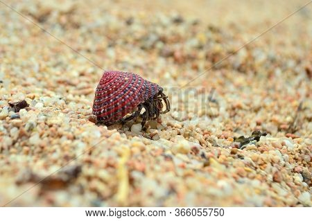 Hermit Crab Walking Traveling On Sand Close-up. Soldier-crab Looks Out Of Shell Walking On Beach Sen