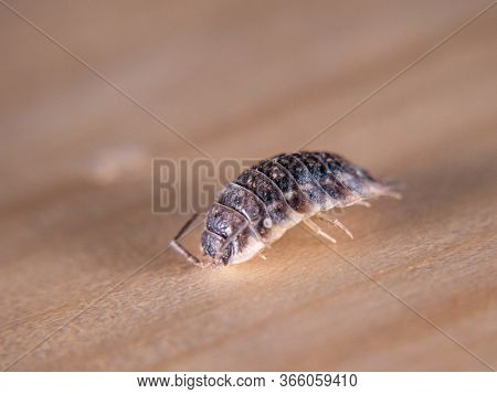 Close Up Of Woodlouse Insect Bug On Wooden Background
