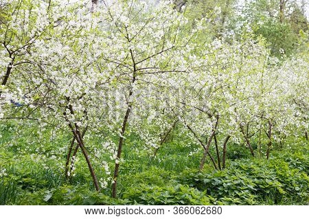 Cherry Orchard At Full Bloom. Cherry Trees In Spring