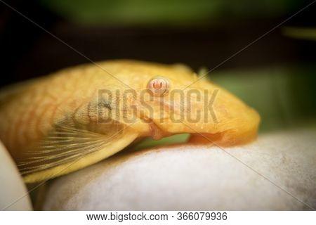 Golden Ancistrus Pleco Catfish Male Albino Bristle-nose Tropical Freshwater Aquarium Fish. Albino Al
