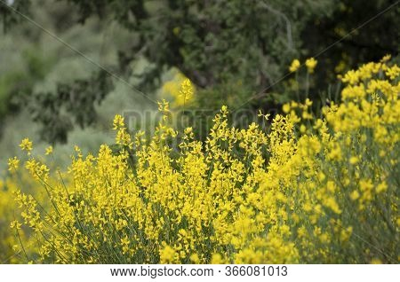 The Stems Of Rush Broom With Yellow Flowers In The Spring (rhodes, Greece)