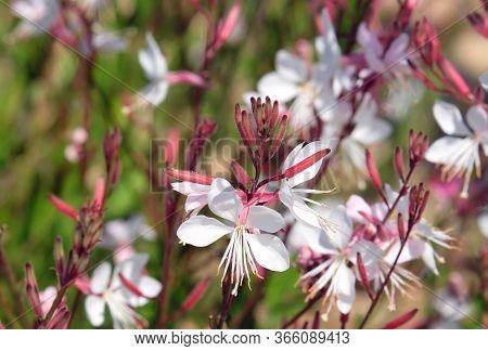 Spring Flowering Decorative Gaura Lindheimeri In The Garden