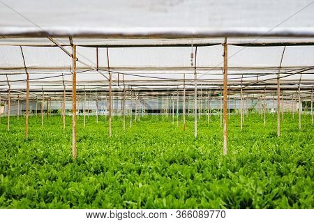 Green Plants In Greenhouse Agriculture Cultivation Of Salad Inside Big Industrial Greenhouse Perspec