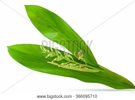 Galangal Leaf With Flower Isolated On White Background