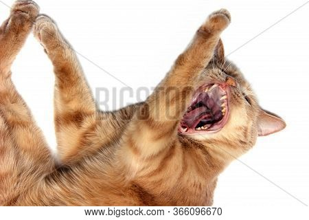 Red Cat With A Wide-open Mouth. The Tongue And Teeth Of The Cat Close-up. Yawning Cat.