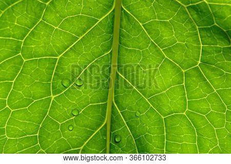 Green Leaf Texture Closeup. Floral Abstract Natural Background. Plant Vein On A Leaf And Water Dropl