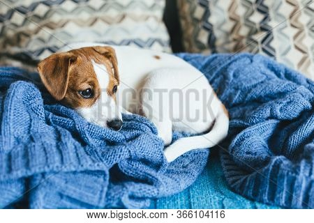 Adorable Puppy Jack Russell Terrier Laying On The Blue Blanket. Portrait Of A Little Dog.