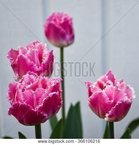 Group With Pink Tulips Closeup By A White Background