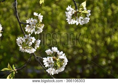 White Cherry Flowers Blooming By A Green Blurred Background