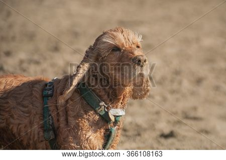 Beige Fluffy English Cocker Spaniel On A Walk. Pet Sits On The Wet Sand Of The Coast And Looks At Th