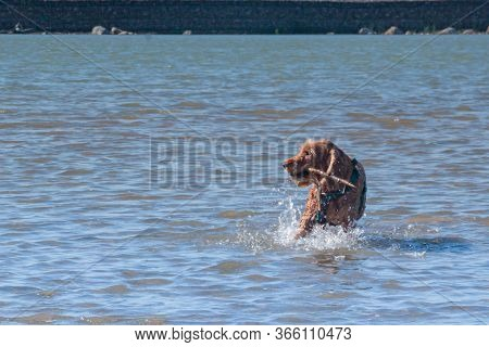 Training Game With Dog Pet. Cocker Spaniel Pet Brings The Owner A Stick On Command From Sea Water On