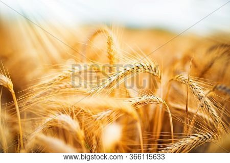 Golden Wheat Field In Sunlight. Close-up With Bokeh And Short Depth Of Field. Natural Landscape With