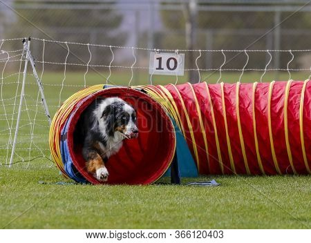Aussie Dog On The Agility Course Coming Out Of A Tunnel