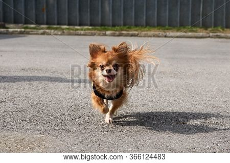 Cute Smiling Little Dog Longhaired Chihuahua Runs On The Asphalt