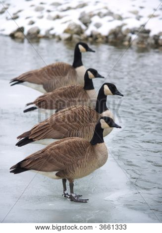 Canadian Geese Lined Up On An Ice Patch