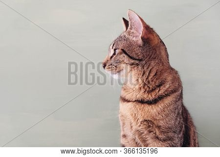 Beautiful European Shorthair Young Cat Sitting Against Pastel Green Background, Sideview.