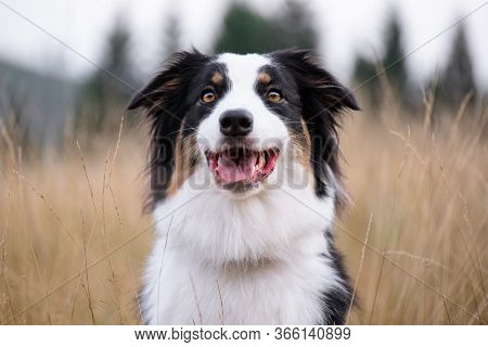 Portrait of Australian Shepherd dog in autumn meadow. Happy adorable Aussie dog sitting in grass field. Beautiful adult purebred Dog outdoors in nature.