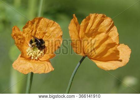 Atlantic Poppy - Papaver Atlanticum  Two Orange Flowers With Buff-tailed Bumblebee - Bombus Terrestr
