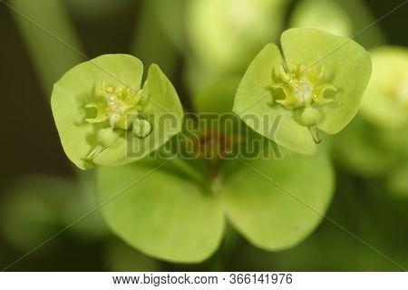 Wood Spurge - Euphorbia Amygdaloides  Closeup Of Flowers