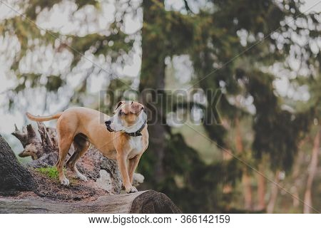 Beautiful Active Dog In The Forest, Telephoto Image. Staffordshire Terrier Mutt Stands On A Large Tr