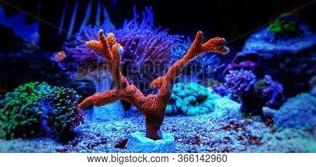 Forest Fire Montipora Sps Coral - Montipora Digitata Sp.