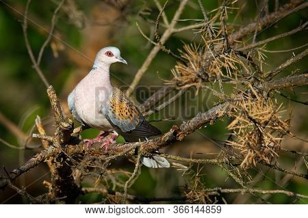 European Turtle-dove - Streptopelia Turtur Sitting On The Branch, Beautiful Colours, Member Of The B