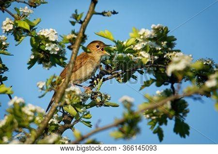 Nightingale - Luscinia Megarhynchos Also Known As Rufous Nightingale, Small Passerine Brown Bird Bes