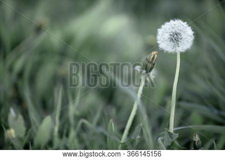 Dandelion.ripe Seeds Of The Dandelion. White Air Umbrellas Made Of Dandelions. Scattered Dandelion S