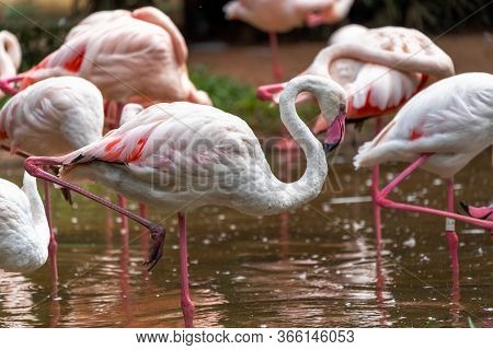 Pink Flamingos In The National Aves Park, Brazil.