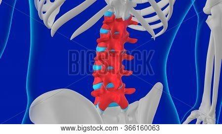 Human Skeleton Vertebral Column Lumbar Vertebrae Anatomy 3d Illustration For Medical Concept
