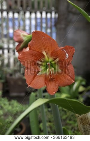 Hippeastrum Johnsonii In Nature - Red Flowers, Stock Photo