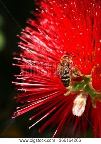 Pollination Concept. Yellow And Black Worker Bee On Red Callistemon Flower Collects Nectar To Turn I