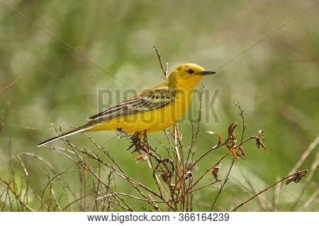 Bird - Yellow-backed Wagtail (motacilla Lutea ) Sitting On A Branch Of A Bush Sunny Spring Morning.
