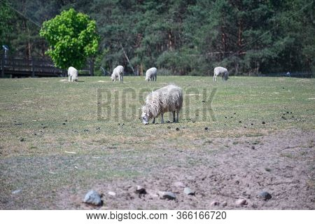The Domestic Sheep On A Farm Field.