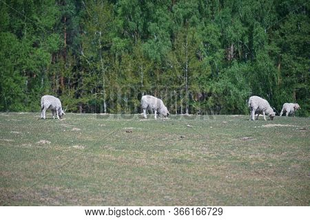 Domestic Sheep (lamb) On A Farm Field.