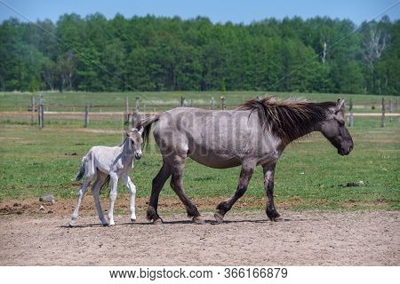 Polish Primitive Horse (konik). A Mare With A Foal Is Walking Across The Field.