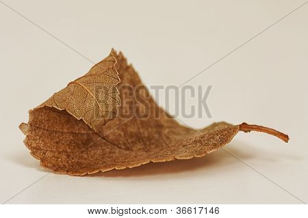 Dried Curled Leaf