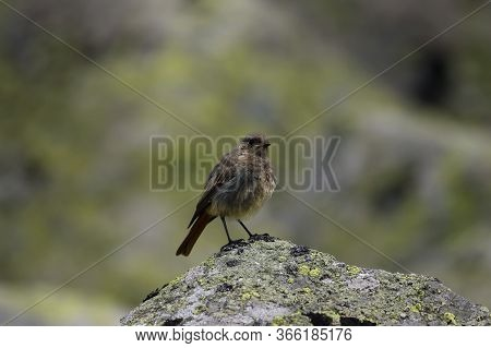 The Common Redstart (phoenicurus Phoenicurus) Or Old World Flycatcher Sitting On The Rock Covered By