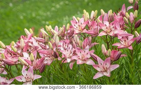 Blooming Light Pink Asiatic Lilies Growing In The Garden. Pale Pink Asian Hybrid Lily Flowers Called