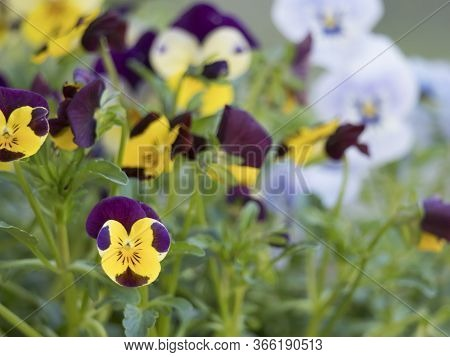 Close Up Garden Pansy, Yellow, Purple And Violet Viola Spring Flower On A Green Bokeh Background, Se