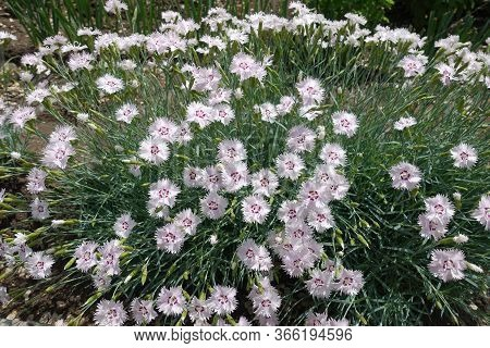 Closed Buds And Light Pink Flowers Of Dianthus Deltoides In May