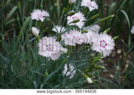 Closeup Of Light Pink Flowers Of Dianthus Deltoides In May