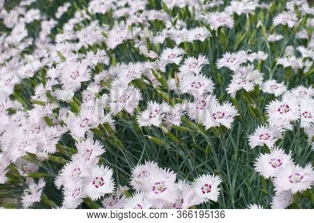 Dianthus Deltoides With Lots Of Light Pink Flowers In May