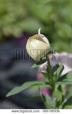 Baloon Flower Astra White - Latin Name - Platycodon Grandiflorus Astra White
